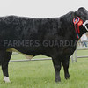Angus Show 17 Commercial Cattle Champion from Wilson Peters, Monzie, Crieff.