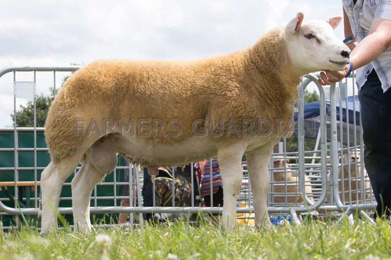 Ashby Show,Leicestershire 2017<br /> Reserve overall sheep champion Ram Lamb owned by Mr H S Ashley<br /> Picture Tim Scrivener 07850 303986<br /> ….covering agriculture in the UK….