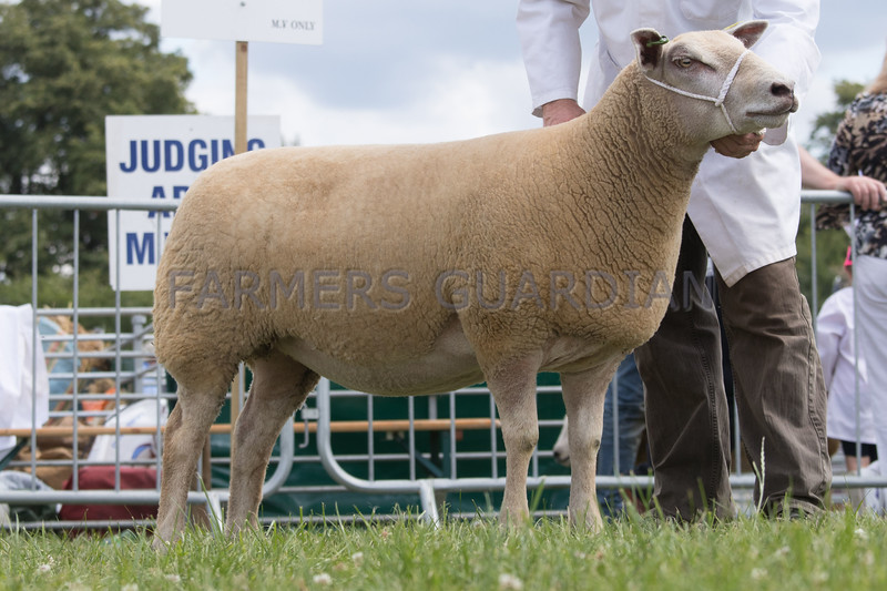 Ashby Show,Leicestershire 2017<br /> Overall sheep champion Shearling ewe owned by Mr C Sercombe<br /> Picture Tim Scrivener 07850 303986<br /> ….covering agriculture in the UK….
