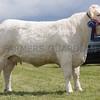 Ashby Show,Leicestershire 2017<br /> Charolais Champion and Overall Reserve Champion Newroddige Jody owned by Mr J D Leavesley<br /> Picture Tim Scrivener 07850 303986<br /> ….covering agriculture in the UK….