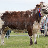 Ashby Show,Leicestershire 2017<br /> Longhorn Champion Blackbrook Zabrina owned by Mr H Stanley <br /> Picture Tim Scrivener 07850 303986<br /> ….covering agriculture in the UK….