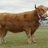 """Highland Cattle Champion at Black Isle Show """"Eilidh 5th of Dunach"""" from J&L Fraser& Son, east Tilbouries, Maryculter, Aberdeen."""