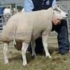 Beltex Chmpion at Black Isle Show a Ram from Donald Douglas, Braes of Coulmore, North Kessock, Inverness.