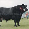 "Aberdeen Angus Champion at Black Isle Show ""Ballindalloch Earl"" from Ballindalloch Home Farm, Ballindalloch."
