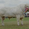 "Charolais Champion at Black Isle Show ""Kilbline Instigator""<br /> from John Irvine, Inverlochy, Tomintoul."
