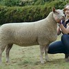 Charollais champion at Black Isle Show a Gimmer from G&B Ingram, Logie Durno, Pitcaple, Inverurie