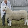 North Country Cheviot Park at Black Isle Show a Shearling Ram from J&W MacKay, Biggins Farm, Killimster, Wick.