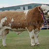 "Simmental and Interbreed Champion at Black Isle Show ""Blackford Hero"" from W G Macpherson, Blackford Farm, Croy, Inverness"