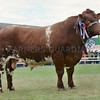 "Shorthorn Champion at Black Isle Show ""Smallburn Jethro""<br /> from Smallburn Farms, Plewland Farm, Duffus,Elgin."