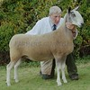 Bluefaced Leicester Champion at Black Isle Show a Gimmer from Robert Neill, Broadleys, Dunning.