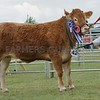 "Limousin Champion at Black Isle Show ""Millington Limo"" from Gary Patterson, Upper Forgie"" Aultmore, Keith."