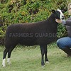 Zwartble Champion at Black Isle Show a C & S Bissett, Marian, Culnaskeath,Evanton, Dingwall.