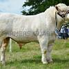 Reserve interbreed beef champion Charolais bull Mortimers Ikram from Mortimers farm ltd.