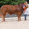 The reserve interbreed beef champion, Limousin Mayfields His Grace from Alison and Andrew Clark  of Sheffield, Yorkshire.