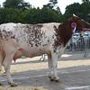 Bakewell DSH heifer