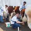 Getting their cattle ready for the Show Ring at Balmoral. Photograph: Columba O'Hare