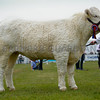 Charolais Champion heifer Woodpark Lottie from Mr William Short.