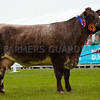 Shorthorn Champion Gipsy Robyn, with calf Uppermill Ricky at foot.