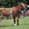 The any Other Pedigree Cattle  Champion at Banchory Show a Shorthorn Heifer from Alison Watt, Birkenburn, Keith.