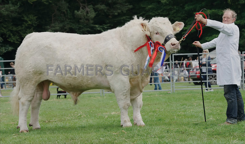 """Charolais  Champion at Banchory Show """"Utopia Lionhart"""" from E J Kingaby, Mains of Auchmedden, Pennan, Fraserburgh."""
