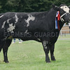 British Blue champion at Banchory Show a Heifer from G &J Greenlaw, Balgairn Farms, Dinnet.