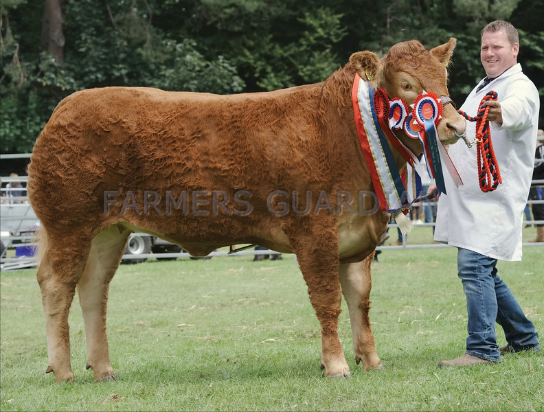 "Limousin and Show Supreme champion at Banchory Show ""Foxhill Miss Money Penny"" from Gary Patterson, Upper Forgie,Aultmore, Keith."