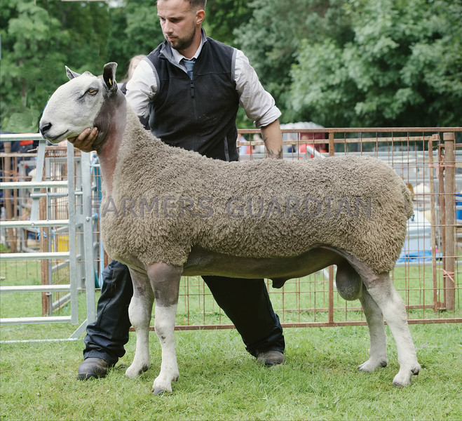 Bluefaced Leicester Champion at Banchory Show an aged Ram from R&N Barclay,Harestone, Insch.