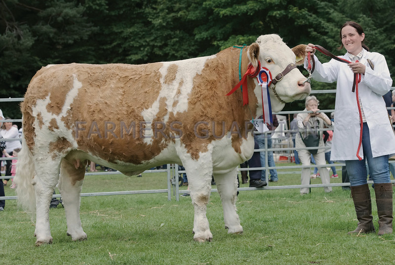 "Simmental Champion at Banchory Show a Heifer ""Forgeron Cornflower"" from S&K Smith, Bankhead, Portlethen."