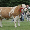 """Simmental Champion at Banchory Show a Heifer """"Forgeron Cornflower"""" from S&K Smith, Bankhead, Portlethen."""