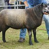 Any Other Continental Breed of Sheep Champion at Banchory Show 16. A Blue Texel Ewe Lamb from W&M. Hunter, West Cairnhill, Culsalmond, Insch.