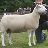 Any Other Native Breed of Sheep Champion at Banchory Show 16. A Lleyn Ewe from D&B. Henderson, Nether Toucks, Dunnottar, Stonehaven.