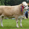 Simmental Champion at Banchory Show 16. Heifer from G&M Smith, Drumsleed, Fourdon, Laurencekirk.