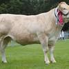 British Blonde Cattle Champion at Banchory Show 16 . Cow from Alison Watt, Birkenburn, Keith.