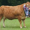 Champion Limousin at Banchory Show 16 from Aileen Ritchie, Tamala, Burnside, Aberdeen.