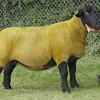 Suffolk Sheep and reserve Interbreed Champion at Banchory Show 16. Ewe from Faith Miskelly, Corrybrae, Kildrummy.