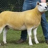 Texel and Sheep Interbreed Champion at Banchory Show 16 from K.Pratt, Old Town Farm, Peterculter, Aberdeen.