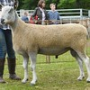 Bluefaced Leicester Champion at Banchory Show 16. Ram from Rodney Blackhall,Balbriddie, Durris.