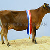 Inter-breed heifer champion Jersey heifer Whitenhill Iced Teas Deliria from B. and J. Ravenhill White.