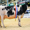 Completing a great day for the Thomas family, Kidwelly they took the inter-breed championship with their Holstein champion, the second calver Normead Baxter Kansas
