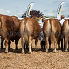 The Limousins, champion interbreed group of four beef animals.