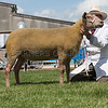 The reserve interbreed sheep champion, a Rouge shearling ewe from A. J. Carter.