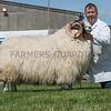 The interbreed sheep champion, a Scotch Blackface ram from Phillip Cornelius.