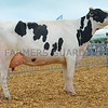 Inter-breed dairy champion Junior cow in milk Peachy Ava Tyrol from Peachy Holsteins.