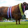 South Devon bull, Carzise Claudius, from Mells Park Trust, near Frome took the inter-breed beef title.
