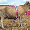 Champion in the dairy inter-breed was second calver Glanmor Tequila Fledgling from Dafydd and Helen Cox, Llandawke.