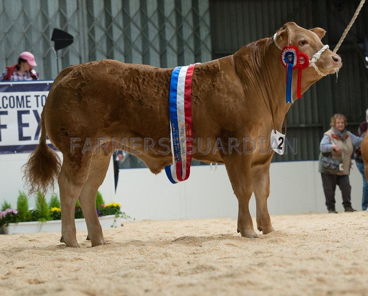 The overall champion, steer Monty from B. E. Williams.
