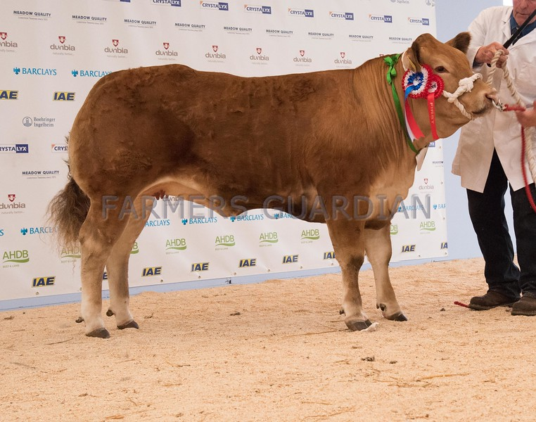 The heifer champion, Cheeky Girl from J. M. and S. M. Rowlands.