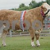 "The Scottish Simmental National Show at Black Isle Show 16. The Supreme Champion  Cow ""Auroch  Eve"" from M.Barlow, Littlewood hall Farm, Croston, Lancashire."
