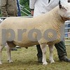 Charollais Sheep and Interbreed Champion at Black Isle Show 16. Tup from W&C Ingram, Logie Durno, Pitcaple, Aberdeen.