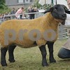 Suffolk Sheep Champion at Black Isle Show 16 Ewe from M & I Bissett, Marian, Culnaskeath, Evanton.